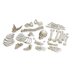 American 3B Disarticulated Human Skeleton