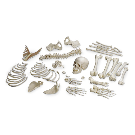 Disarticulated Human Skeleton
