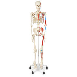 Advanced Skeleton with Muscles