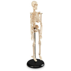 Desktop Skeleton, 16-1/2 in.