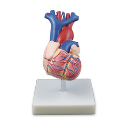 LifeSize Heart Model