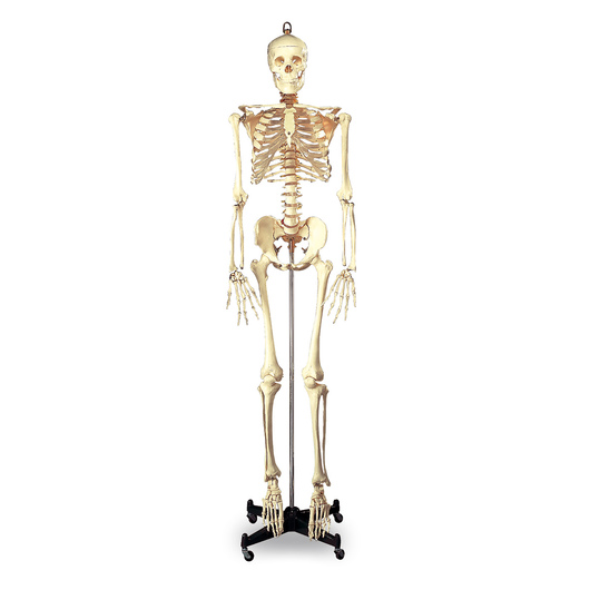 Budget Full-Size Skeleton - 5 ft. 6 in. - Mounted on 16 in. W x 3 in. H Metal Base with Wheels