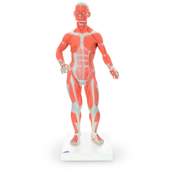 American 3B Muscular Figure, 1/4 Life-Size