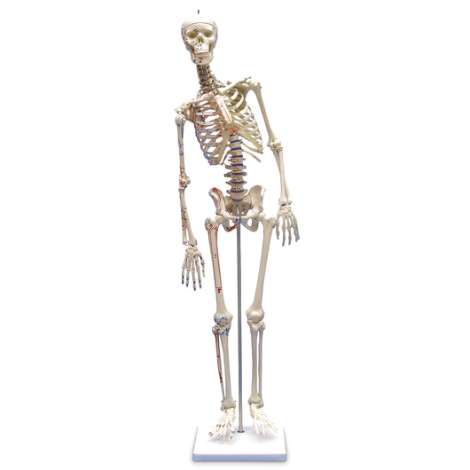 Miniature Skeleton <q>Fred</q> with Movable Spine and Muscle Markings