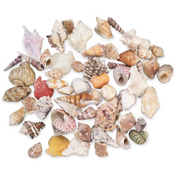 Large Seashell Mix