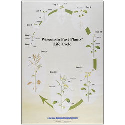 Wisconsin Fast Plants® Life Cycle Poster