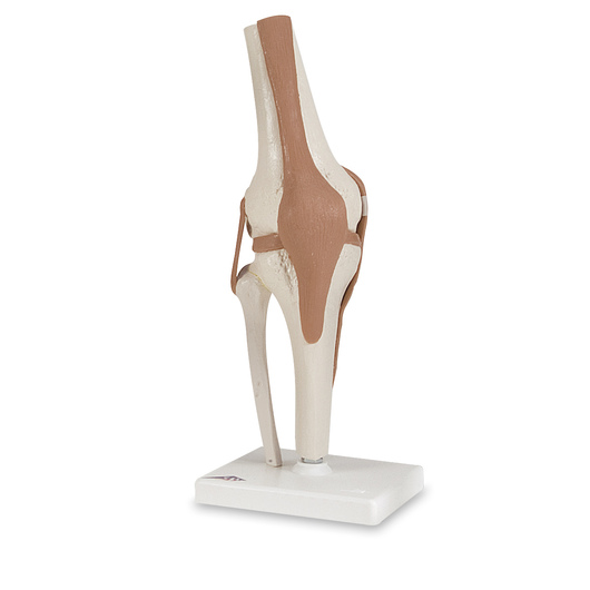 Working Knee Joint Model