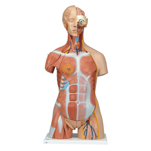 Deluxe Dual-Sex Muscle Torso with Opened Neck and Back (31-Parts)