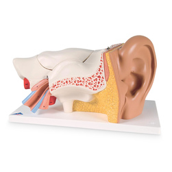 Advanced Giant Ear, 3 Times Life-Size, 6-Part