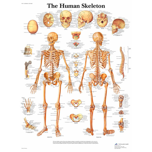 Classic Laminated 3B Scientific® Anatomical Chart for Human Skeleton