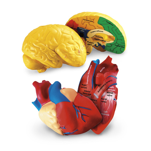 Cross-Section Heart & Brain Model Set