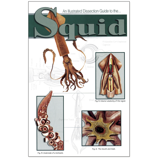 An Illustrated Dissection Guide to the Squid