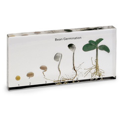 Bean Germination Display