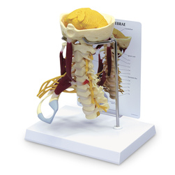 LifeSize Cervical Model with Muscles and Nerves