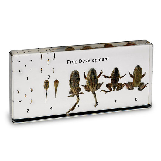 Frog Development Display