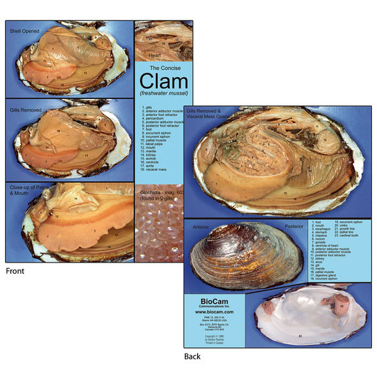 BioCam's Concise Clam Chart