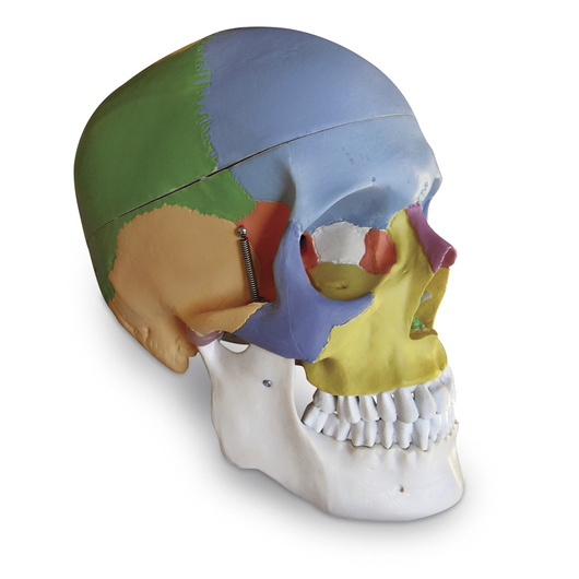 Colored Human Skull