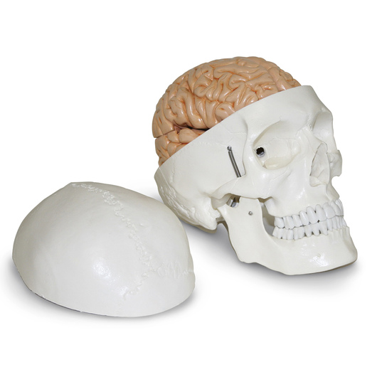 Human Skull with Brain Model