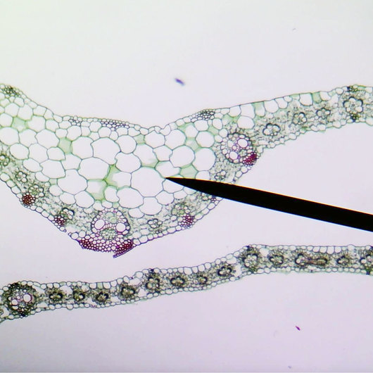Monocot and Dicot Leaves, Cross Section