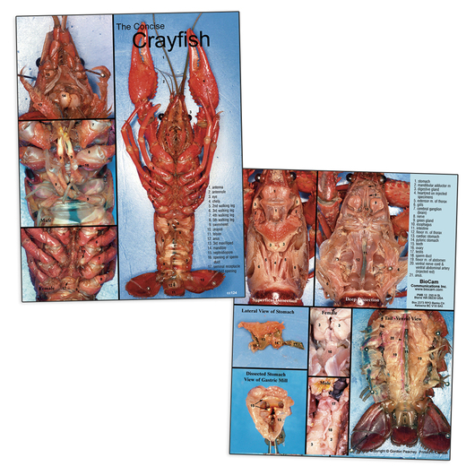 BioCam's Concise Crayfish Dissection Chart