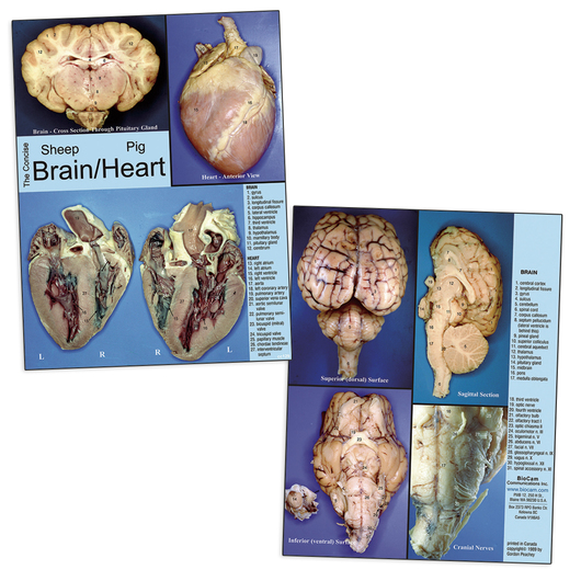 BioCam's Concise Brain/Heart Dissection Chart