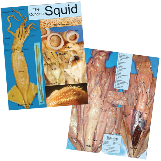Squid Dissection Chart