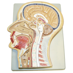 Sagittal Section of Head Model