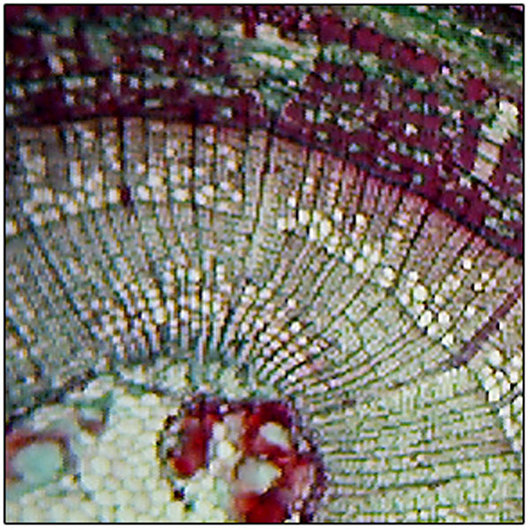 Microscope Slide: Tilia americana (Basswood) - 2-Year Stem - Cross Section
