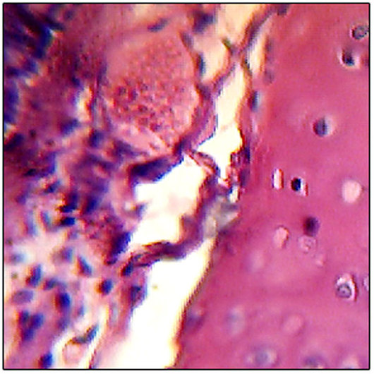 Microscope Slide: Epithelium - Pseudo-Stratified Ciliated
