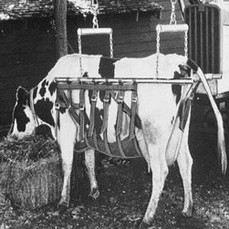 Cow Sling